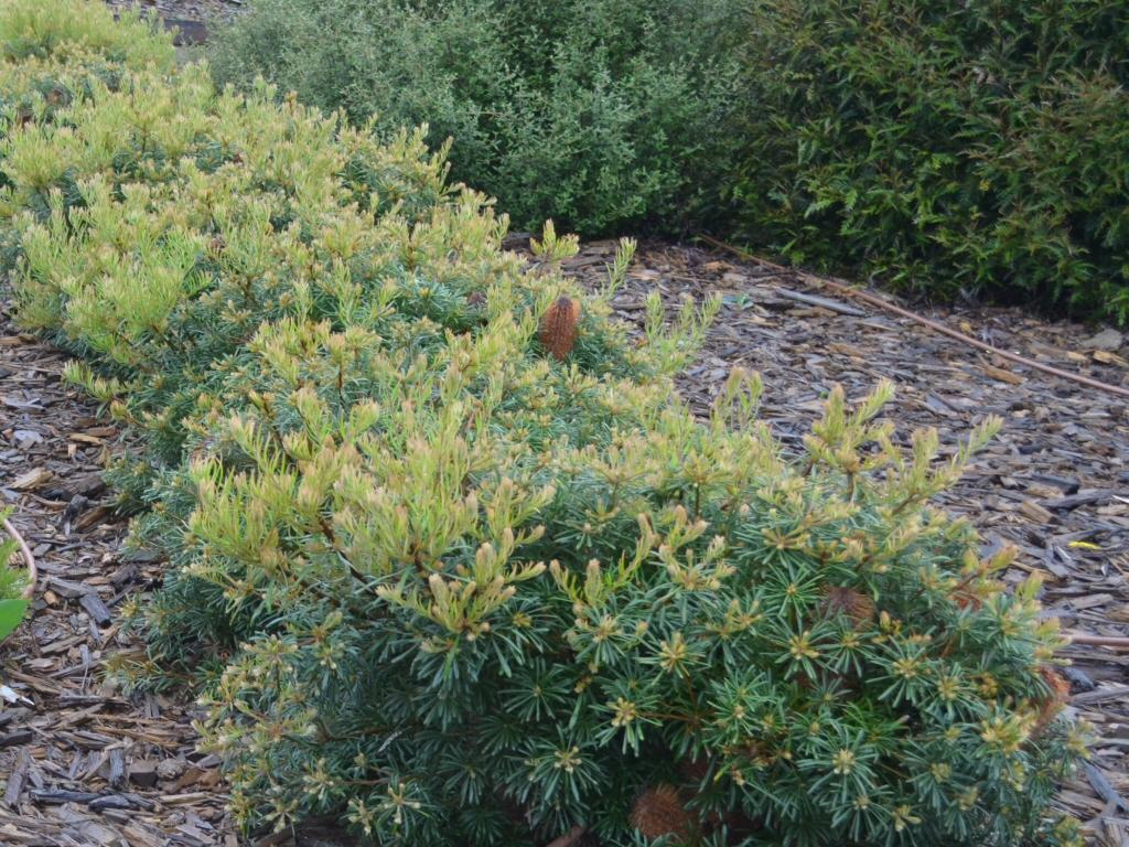 Banksia spinulosa 'Stumpy Gold'