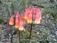 Blandfordia grandiflora - christmas bells