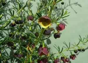The brown boronia (Boronia megastigma) has sweetly perfumed flowers