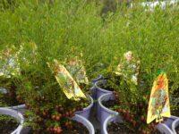 Boronia megastigma 'Heaven Scent'