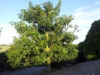 Brachychiton acerifolius_ - flame tree
