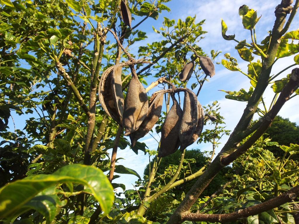 Brachychiton acerifolius_ - flame tree seed pods