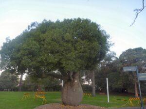 Brachychiton rupestris - bottle tree