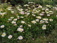 Brachyscome segmentosa Lord Howe Island daisy 'Starscope'