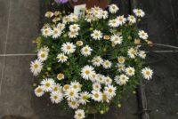 Brachyscome -fan flower 'White Delight'