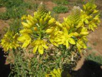 Bulbine bulbosa - native leek is a decorative bush tucker food plant