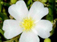Calandrinia balonensis 'Charisma'