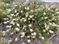 Callistemon citrinus bottlebrush 'White Anzac'