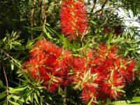Callistemon hybrid bottlebrush 'Four Seasons'