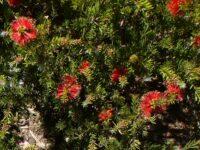Callistemon pearsonii bottlebrush 'Rocky Rambler'