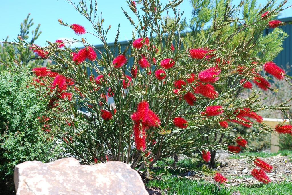 Callistemon Cherry Time Bottlebrush Gardening With Angus