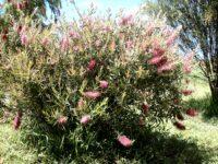 Callistemon bottlebrush 'Rosy Morn'