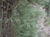 Callitris oblonga - pygmy cypress pine