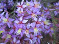 Calytrix fraseri - fringe myrtle