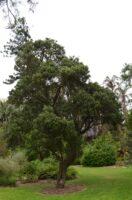 Capparis mitchellii - native orange