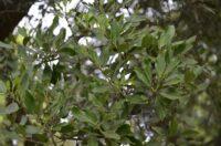 Capparis mitchellii - native orange is a bush tucker plant
