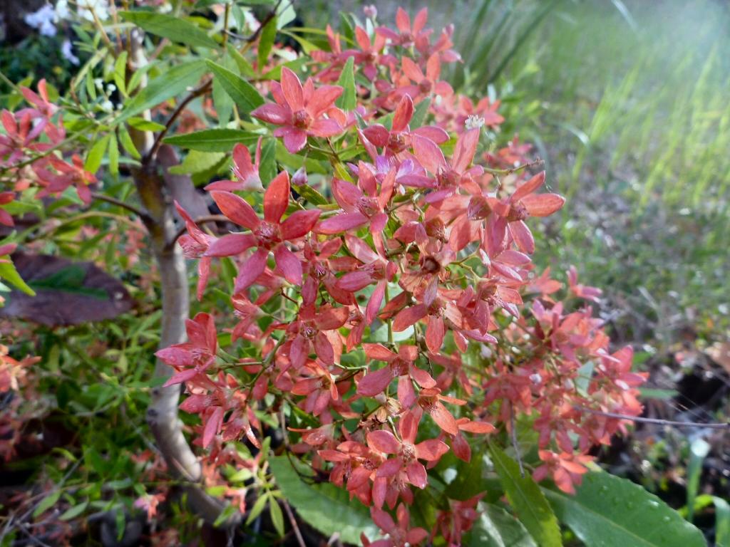 Christmas Bush In Pots.Ceratopetalum Gummiferum Alberys Red New South Wales Christmas