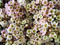 Chamelaucium uncinatum wax-flower 'Revelation'