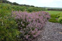Chamelaucium uncinatum wax-flower 'Sweet Rosie'