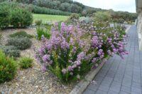 chamelaucium cross verticordia wax-flower cultivar paddys pink