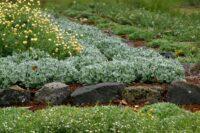 Chrysocephalum apiculatum-common everlasting 'Silver Sunburst'