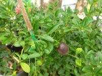 Citrus australasica Red Centre Lime'