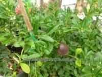 Citrus glauca - desert lime