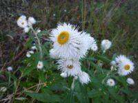 Coronidium elatum everlasting daisy 'Sunny Side Up'