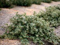 Correa alba 'Star Showers' is a great hardy australian native groundcover