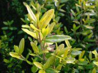 Correa wild-fuchsia 'Barossa Gold'