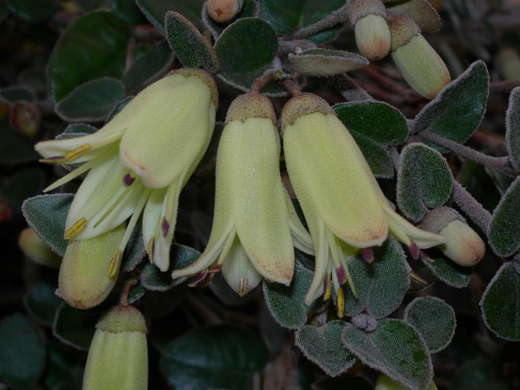 Correa Reflexa X Alba Lemon Twist Native Fuchsia