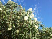 Corymbia eximia nana - dwarf bloodwood