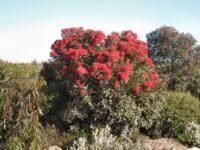Corymbia ficifolia flowering-gum 'Baby Scarlet'