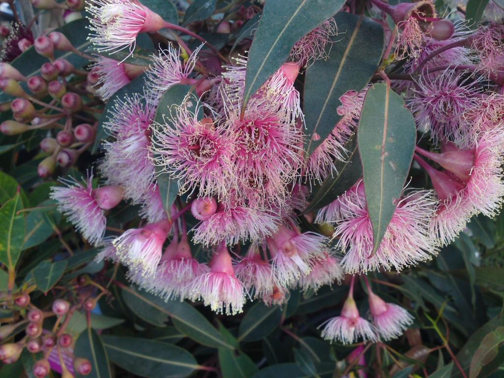 Corymbia Ficifolia Fairy Floss Flowering Gum