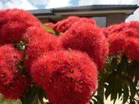 Corymbia ficifolia flowering-gum 'Wildfire'