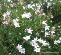 crowea-angustifolia_crowea