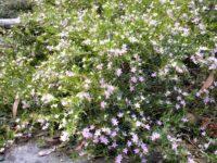 Crowea exalata 'Green Cape'