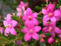 Crowea exalata wax flower 'Symphony'
