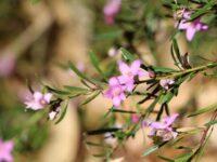 Crowea hybrid 'Festival - Waxflower