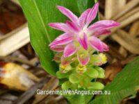 Curcuma australasica - native turmeric
