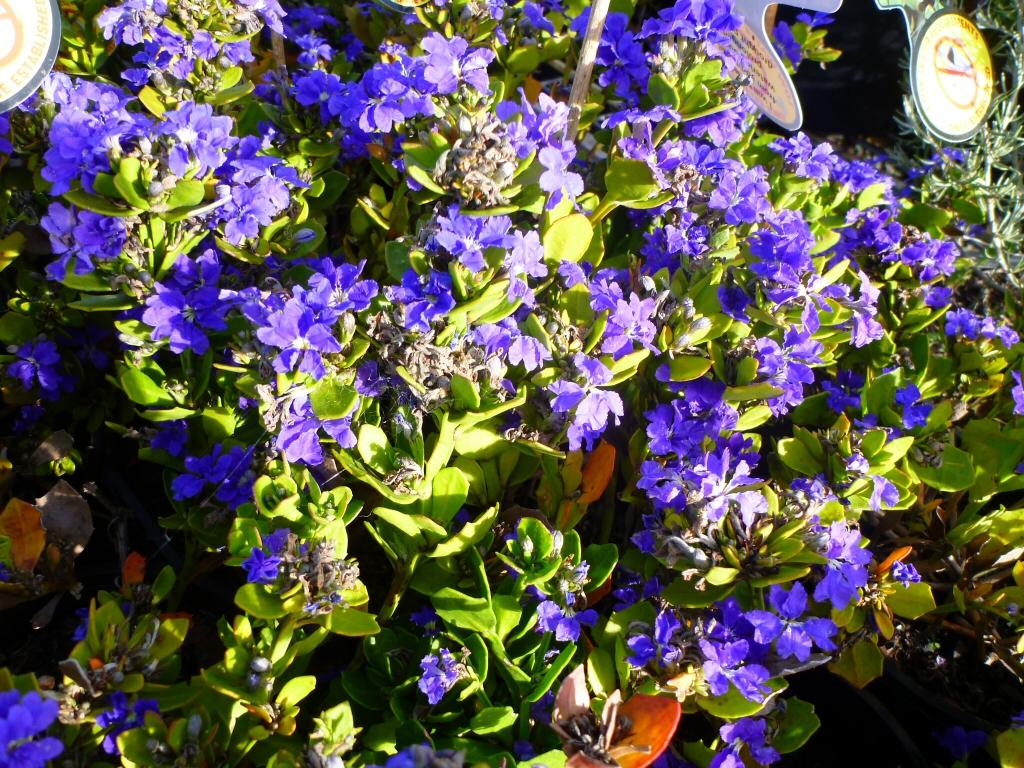 Dampiera linearis blue moon dampiera gardening with angus dampiera linearis blue moon has true blue flowers izmirmasajfo