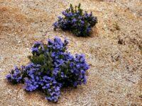 Dampiera linearis 'Cobalt Mound'