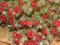 Darwinia pinifolia