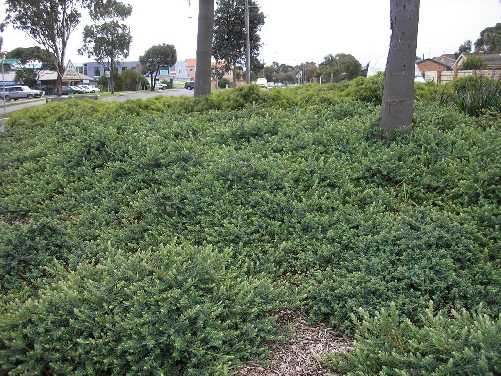 Darwinia Citriodora Seaspray Darwinia Gardening With Angus