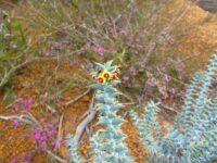 Daviesia pachyphylla - ouch bush