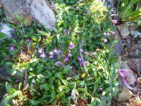 Dendrobium kingianum - miniature rock orchid