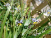 Dianella caerulea flax-lily 'Breeze'