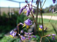 Dianella caerulea flax-lily 'Little Jess'