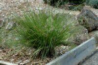 Dianella longifolia flax lily 'Forte'