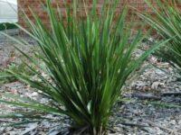 Dianella revoluta flax-lily 'Kentlyn'